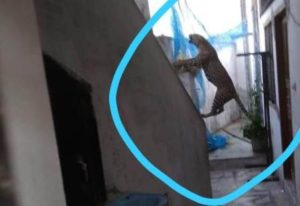 panther entered in residencial area