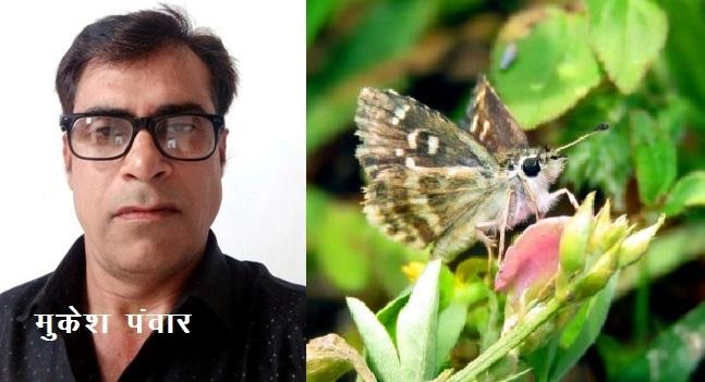 Mukesh Panwar search india 1328th butterfly SPIALIA ZEBRA found in sagwara dungarpur rajasthan